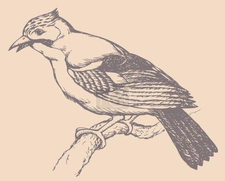 """Dessin vectoriel d'une série """"Oiseaux"""". Jay eurasien ou Jay bleu"""