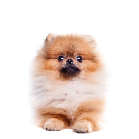 Zverg Spitz, Pomeranian