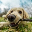 Chewing the stick. Close-up image with fisheye len...