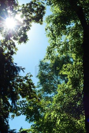 Photo pour Chêne vert - image libre de droit
