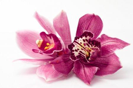 Photo pour Orchid isolé sur fond blanc - image libre de droit