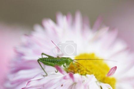 Photo pour Sauterelle verte, macro shot - image libre de droit