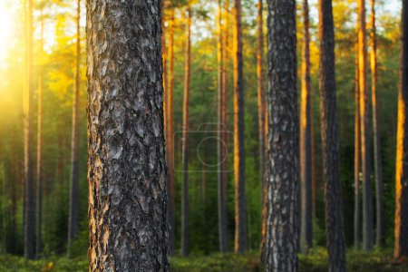 Photo pour Forêt de pins nordiques à la lumière du soir. courte profondeur de champ. - image libre de droit