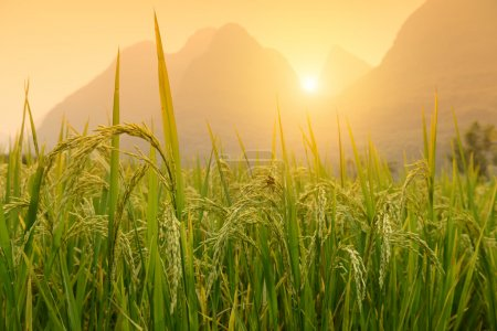 Paddy rice harvest