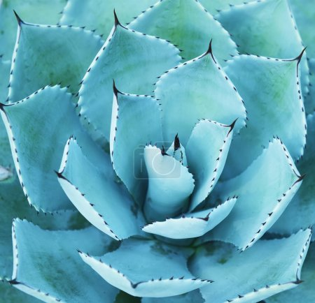 Photo for Sharp pointed agave plant leaves - Royalty Free Image