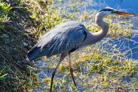 Photo pour Grand héron bleu dans Everglades NP, Floride - image libre de droit