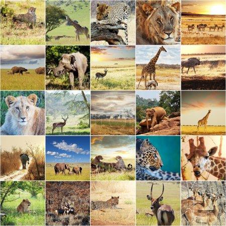 Photo pour Collages safari africain - image libre de droit