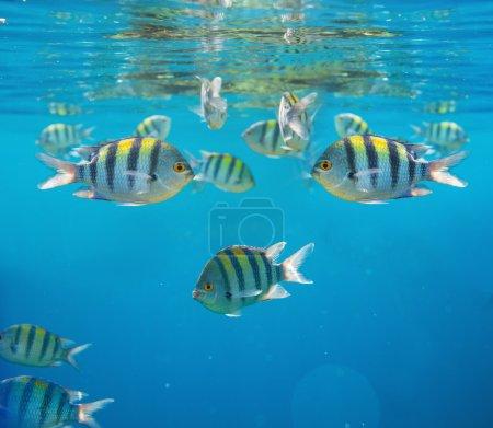 Photo pour Poissons coralliens en Mer Rouge, Egypte - image libre de droit