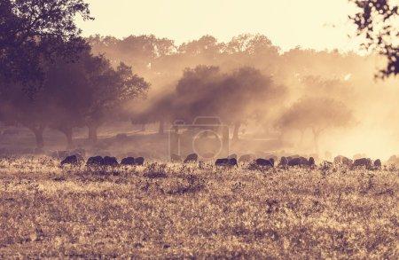 Sheeps in Spain