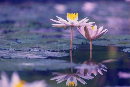 Photo pour Fleurs de Lotus sur lac closeup - image libre de droit