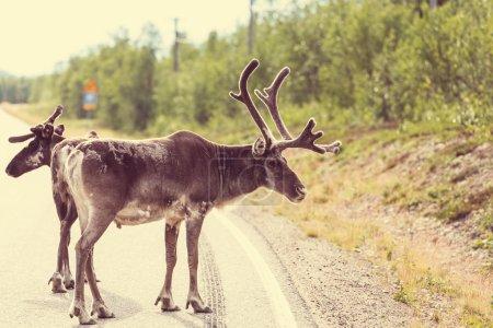 Photo pour Raindeers sur la route en Norvège - image libre de droit