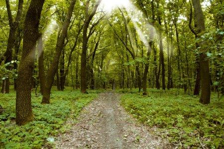 Photo pour La forêt avec le dernier du soleil qui brille à travers les arbres - image libre de droit