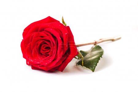 Photo pour Belle fleur rose rouge sur fond blanc - image libre de droit