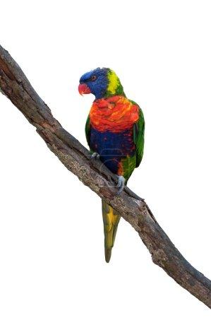 Rainbow lorikeets, australian parrot on a wooden b...