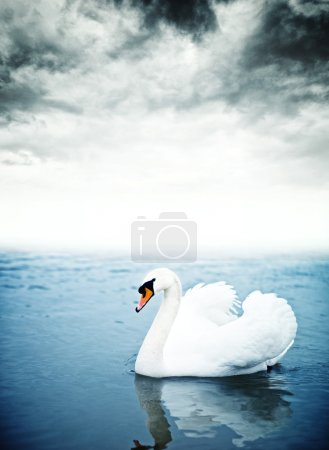 Photo for Mute swan (Cygnus olor) floating on the surface of a lake. - Royalty Free Image