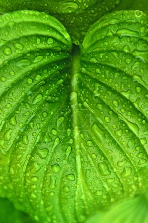 Photo for Raindrops on green plant leaf. Dewy vegetation. - Royalty Free Image