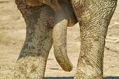 Pénisz elefánt
