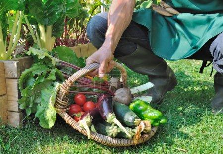 Photo pour Jardinier tenant un panier de légumes fraîchement récoltés - image libre de droit