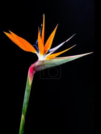 oiseau de paradis fleurs