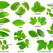 Collection of green leaves of fruit and berry shru...