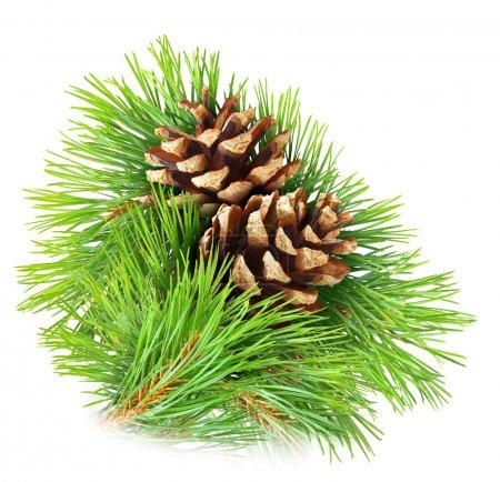 Photo pour Branche de pin avec cônes isolé sur blanc - image libre de droit
