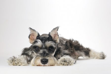 Cute Miniature Schnauzer Puppy Dog on White Background