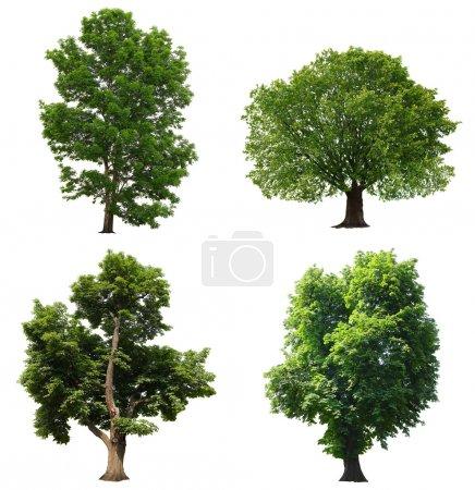 Photo pour Arbres à feuilles vertes isolés sur fond blanc - image libre de droit