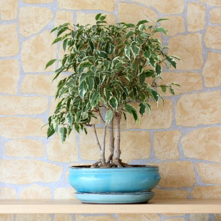 Photo for Details of a ficus benjamina or weeping fig in flowerpot - Royalty Free Image