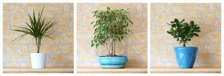 Photo for Details of three potted plants, dracaena marginata,ficus benjamina, crassula ovata - Royalty Free Image