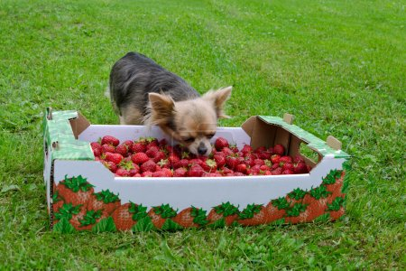 Tiny dog with a box of strawberries