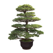 Big bonsai fenyő