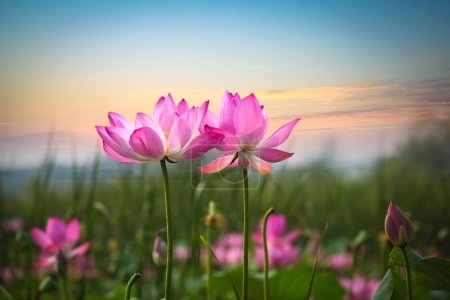 Photo for Beautiful lotus flower in blooming at sunset - Royalty Free Image