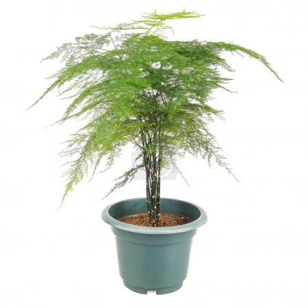 Photo for Asparagus fern is a perennial evergreen vine foliage plants, ornamental plants. - Royalty Free Image