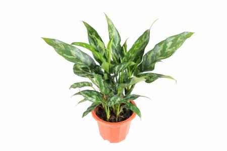 Photo pour Plante à feuilles persistantes avec un fond blanc, rohdea japonica - image libre de droit