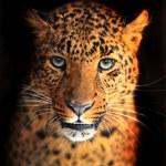 Portrait of Leopard...