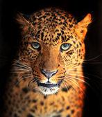"""Постер, картина, фотообои """"Леопард"""""""