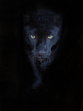 Photo for Portrait of a black panther - Royalty Free Image