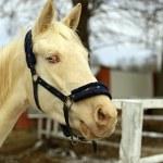 Portrait of a beautiful albino Horses...