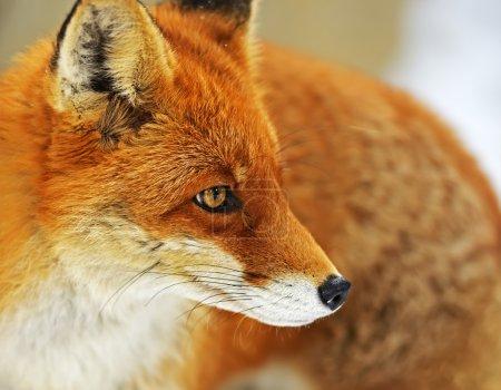 Photo pour Renard roux dans des conditions naturelles de la nature - image libre de droit