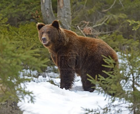 Photo pour Ours brun dans les bois en hiver - image libre de droit