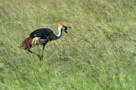 Close-up of a Grey Crowned Crane (Balearica regulo...