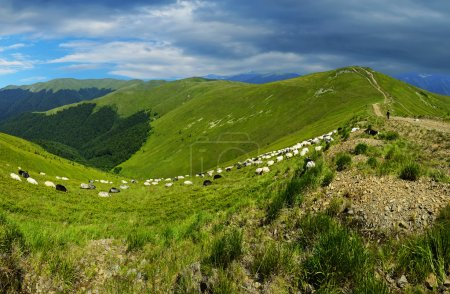 Flock of sheep in the Carpathian mountains...