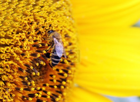 Photo for Close up of bee on sunflower - Royalty Free Image