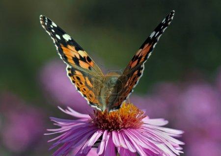 Photo pour Gros plan de Lady papillon peint sur chrysanthème - image libre de droit