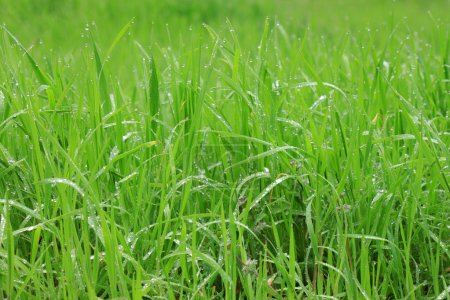 Photo for Close up of green grass with rain drops - Royalty Free Image