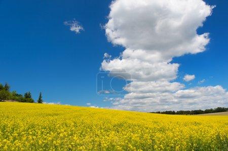 Photo pour Champ de colza contre ciel bleu et nuages blancs - image libre de droit
