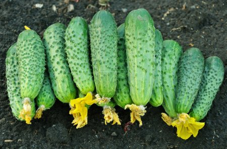 Photo for Cucumbers in bulk laying on the ground - Royalty Free Image