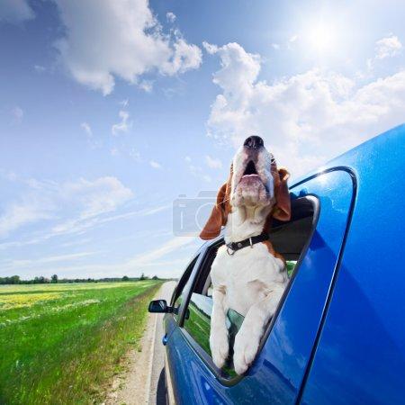 Foto de El beagle lindo viaja en el coche azul. - Imagen libre de derechos