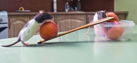 Photo pour Pilferers de cuisine. maintenant, nous savons qui vole votre repas! - image libre de droit