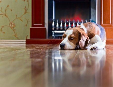 Beagle has a rest near to a fireplace